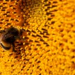 Bumblebee on sunflower collects nectar — Stock Photo #7246373