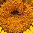 Stock Photo: Sunflower closeup, petals, and the core