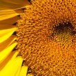 Sunflower closeup, petals, and the core — Stock Photo