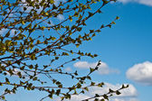 Branches with young leaves against the sky — Stock Photo