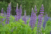 Lupine flower in a meadow close — Stock Photo