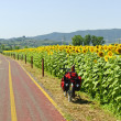 Stockfoto: Lane for bicycles and sunflowers in Tuscany