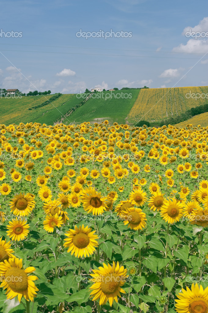 Marches (Italy) - Landscape at summer with sunflowers, farm — Stock Photo #6836040