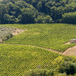 Landscape with vineyards at summer near Montepulciano (Siena, Tu — Stockfoto