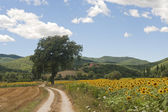 Landscape between Lazio and Umbria (Italy) at summer with sunflo — Stock Photo