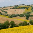 Marches (Italy), Landscape at summer with sunflowers near Filott — Stock Photo