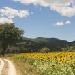 Landscape between Lazio and Umbria (Italy) at summer with sunflo — Stock Photo #7114469