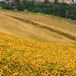 Marches (Italy) - Landscape at summer with sunflowers — Stock Photo