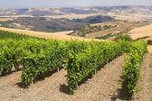 Landscape in Basilicata (Italy) near Forenza at summer: vineyard — Stock Photo