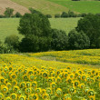 Stockfoto: Marches (Italy) - Landscape at summer with sunflowers