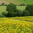 Marches (Italy) - Landscape at summer with sunflowers — Foto Stock #7345686