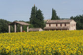 Marches (Italy) - Landscape at summer with sunflowers, farm — Stock Photo