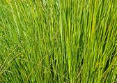 Brizna de hierba — Foto de Stock
