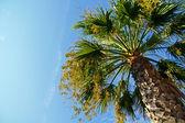 Velké palmy — Stock fotografie