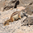 Gopher on Canary Island Fuerteventura — Foto Stock #6889212