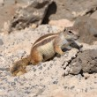 Стоковое фото: Gopher on Canary Island Fuerteventura