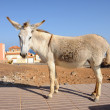Donkey on Canary Island Fuerteventura, Spain - Stock Photo