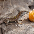 Lizard eating peach — Stock Photo