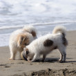 Stock Photo: Two dogs playing on the beach