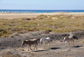 Donkey in Jandia Playa, Canary Island Fuerteventura — Stock Photo