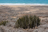 Euphorbia Canariensis on Canary Island Fuerteventura, Spain — Stock Photo