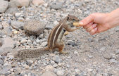Feeding a cute squirrel — Stockfoto