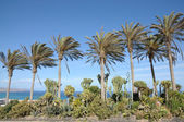 Palm Trees on Canary Island Fuerteventura, Spain — Zdjęcie stockowe