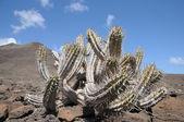 Cactus en canarias la isla fuerteventura, españa — Foto de Stock