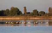 Flamingos in the Camargue, southern France — Stock Photo