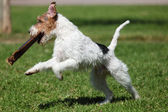 Jack Russel Terrier playong outdoors — Stock Photo