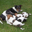 Jack Russel Terrier feeding three puppies — 图库照片 #7575604