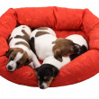 Sleeping puppies — Stock Photo