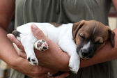 Woman holding Jack Russel Terrier Puppy — Stock Photo