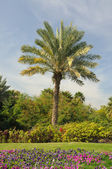 Palm Tree in Dubai, United Arab Emirates — Foto Stock