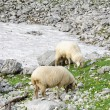 Sheep in the alpine mountains — Stock Photo