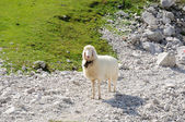 Sheep in the Alps. Wetterstein Mountains, Germany — Stock Photo