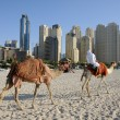 Camels on the Beach in Dubai, United Arab Emirates - Stock Photo
