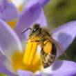 Bee collecting nectar on purple crocus flower — Stock Photo #7795429