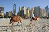 Camels on the Beach in Dubai, United Arab Emirates — Stock Photo