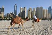 Camels on the Beach in Dubai, United Arab Emirates — Stock Photo
