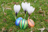 Colorful easter eggs under white crocus flowers — Stock Photo