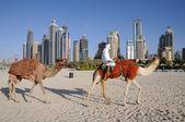 Velbloudi na pláži v dubaji — Stock fotografie