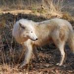 Polar wolf — Stock Photo #7879817