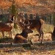 Stock Photo: Red deers in the autumnal wood