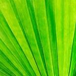Green palm leaf macro — Stock Photo