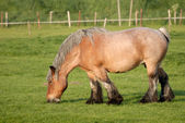 Horse in the meadow, the Netherlands — Stock Photo