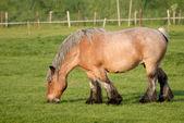 Koń na łące, holandia — Zdjęcie stockowe