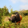Stock Photo: Cow on Lantau Island in Hong Kong, China
