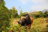 Cow on Lantau Island in Hong Kong, China — Stock Photo