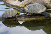 Red Eared Sliders in a water — Stock Photo